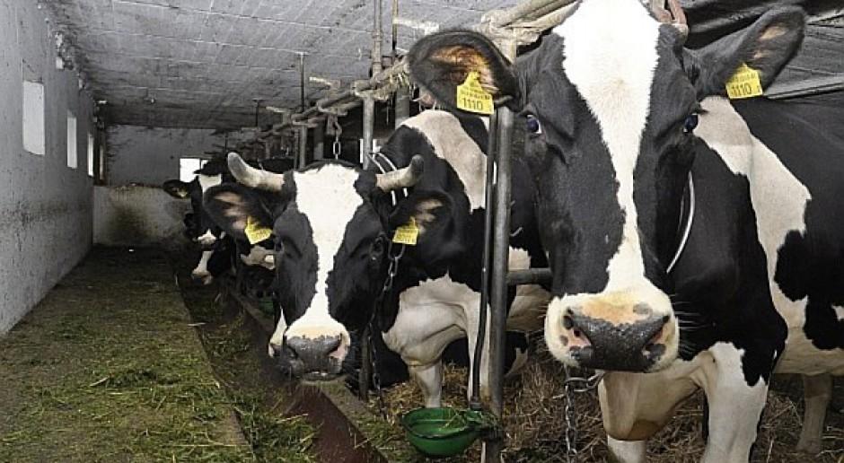 Wąglik wykryty w stadzie krów