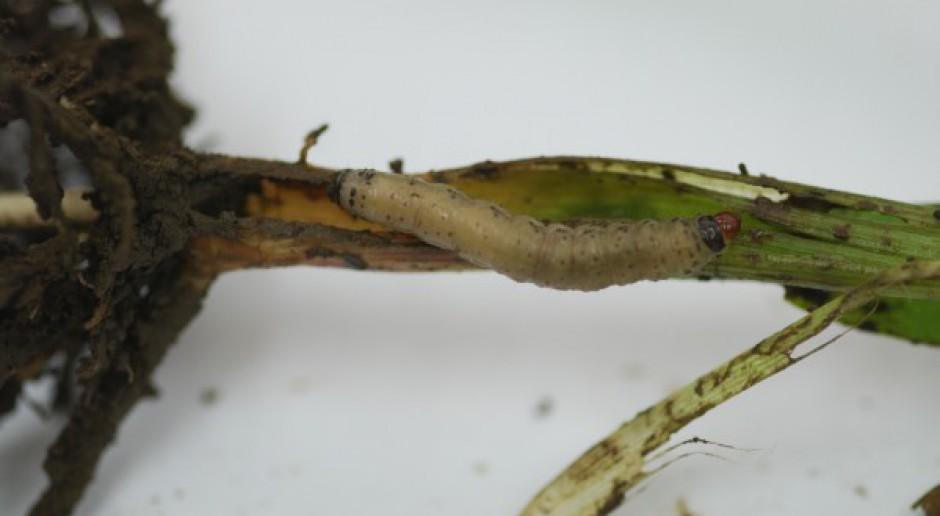 Nowy szkodnik żeruje w kukurydzy