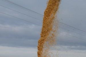 Kukurydza sucha po ponad 900 zł/t