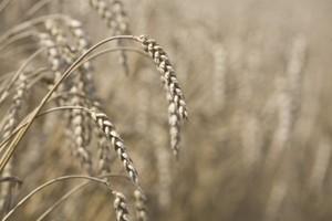 KE: Ceny zbóż spadną wobec obecnych poziomów