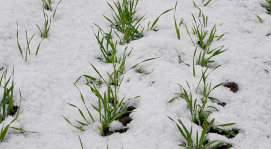 Śnieg pomaga oziminom