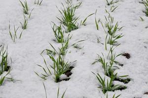 Śnieg daje nadzieję na dobre przezimowanie