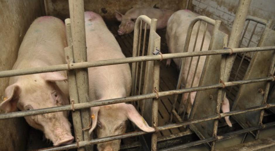 Zagrożony eksport polskich świń na Węgry