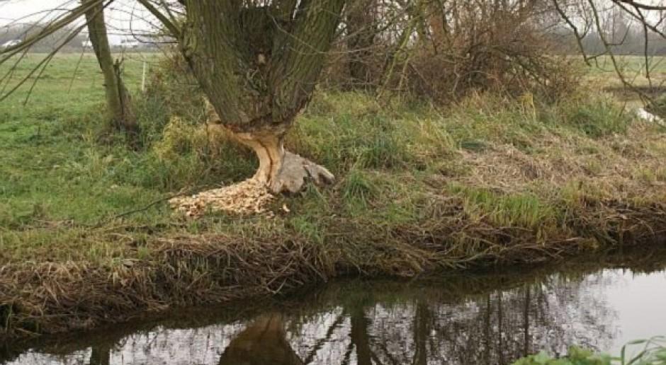 3,2 mln zł za szkody wyrządzone przez wilki i bobry na Warmii i Mazurach