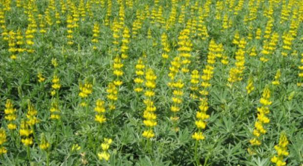 Osiem odmian łubinu żółtego