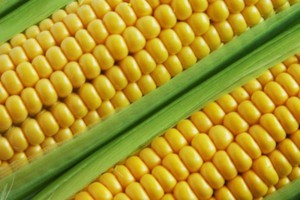 Przyjęto rozporządzenie w sprawie zakazu upraw GMO