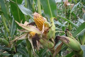 Polska nie poinformowała KE o zakazie upraw GMO