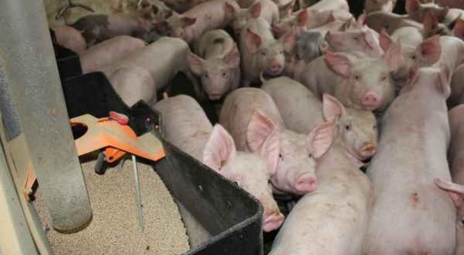 Chciał mieć własną soję dla świń