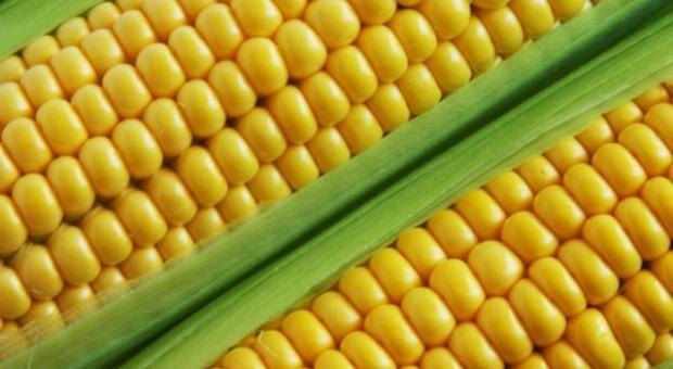 CBOS: 65 proc. ankietowanych przeciw GMO