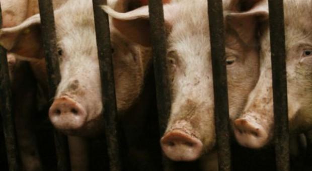 Coraz mniej świń w woj. świętokrzyskim