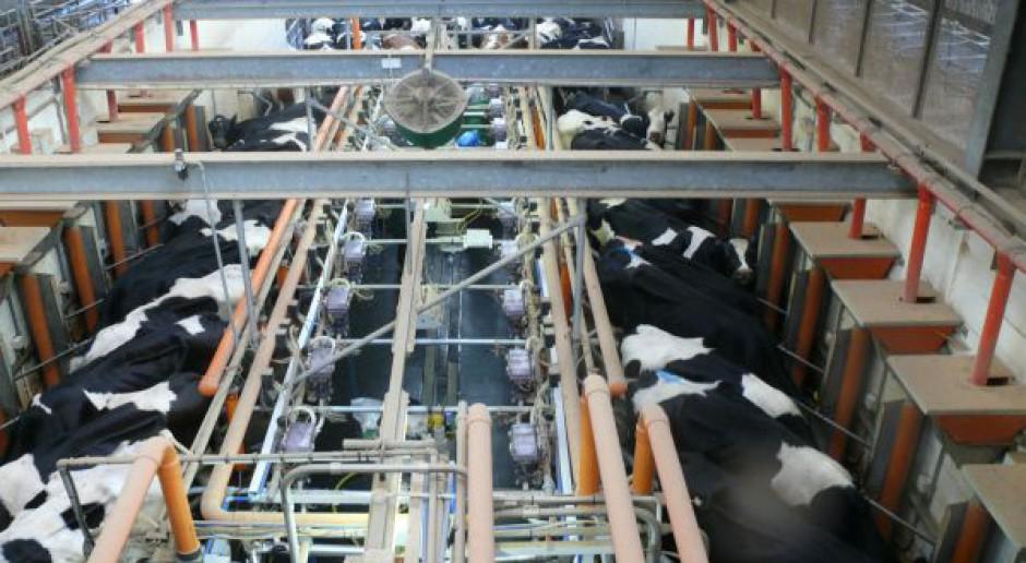 Porażające brakowanie krów