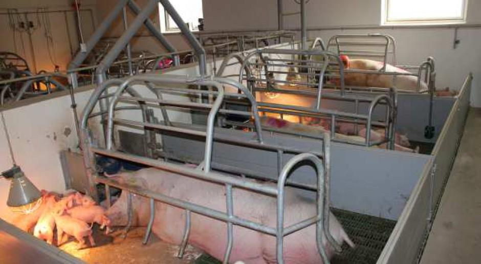 Program odbudowy pogłowia świń tylko dla dużych gospodarstw