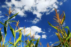 Informacja o zakazie upraw GMO w Polsce przekazana do KE