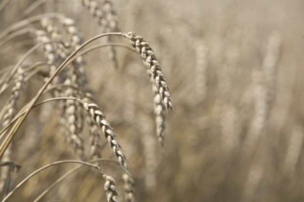 Kukurydza w Chicago liderem wzrostu