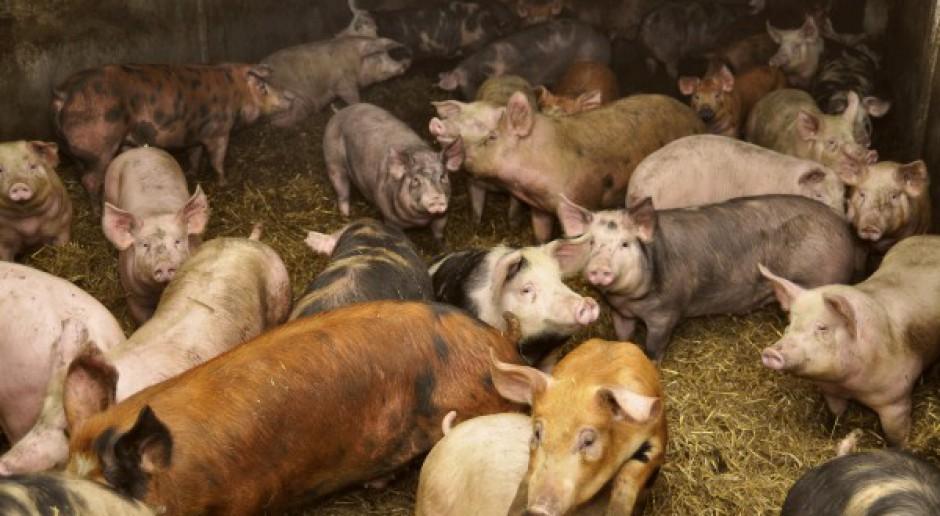 Kolejny głęboki spadek pogłowia świń