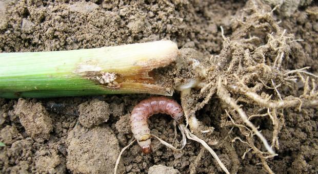 Co najbardziej zaszkodziło kukurydzy?