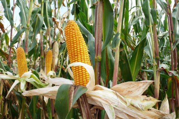 Kukurydza dała dobre plony