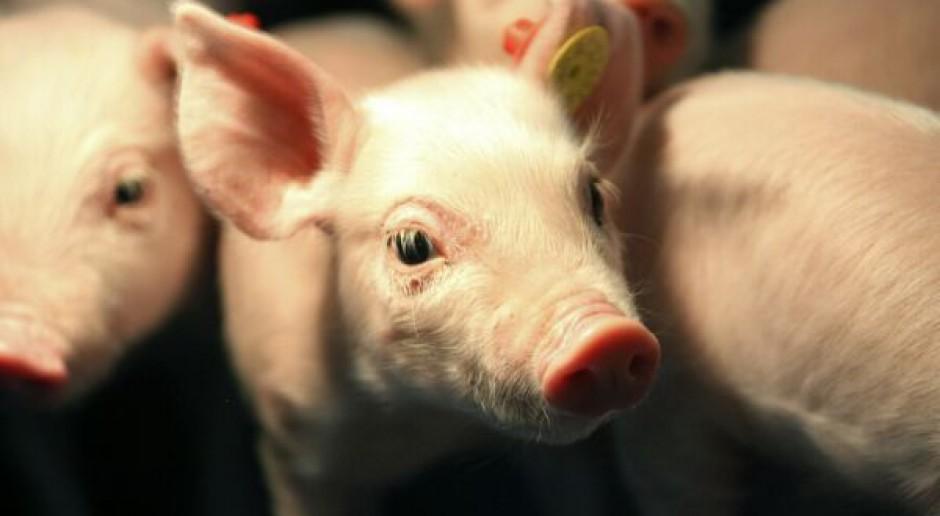 Pierwsze symptomy wzrostu cen wieprzowiny