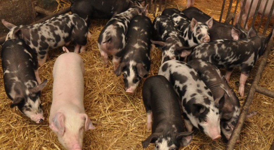 Pogłowie rodzimych ras świń jest zagrożone