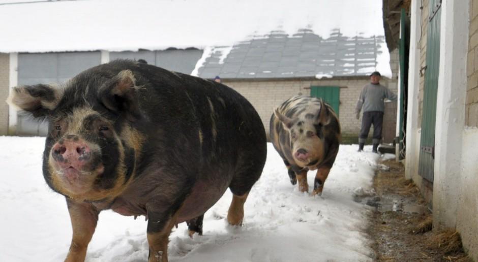 Producenci świń uwzględnieni w następnym PROW-ie