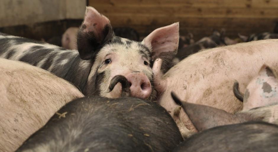 Pierwsze ustalenia programu odbudowy pogłowia świń