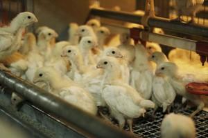 Biurokracja ogranicza skuteczność programów zwalczania salmonelli u drobiu