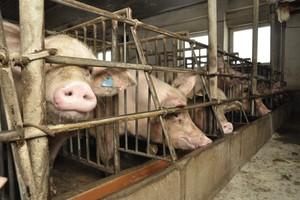 Główne problemy sektora świń wg. POLSUS