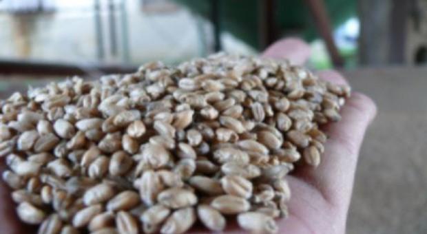 PIN: Materiał siewny zbóż jarych jest ogólnodostępny