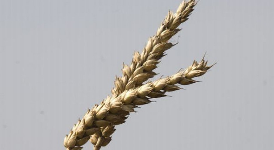 DuPont pracuje nad pszenicą GMO