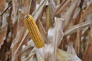 Więcej upraw GMO – wzrost o 6 proc.