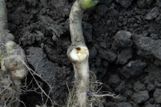 MRiRW: Utrudniona ochrona upraw rzepaku i kukurydzy