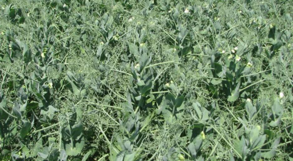 Uprawy roślin wysokobiałkowych jako grunty użytkowane ekologicznie?