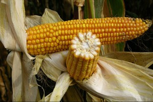 Stabilna i uniwersalna kukurydza