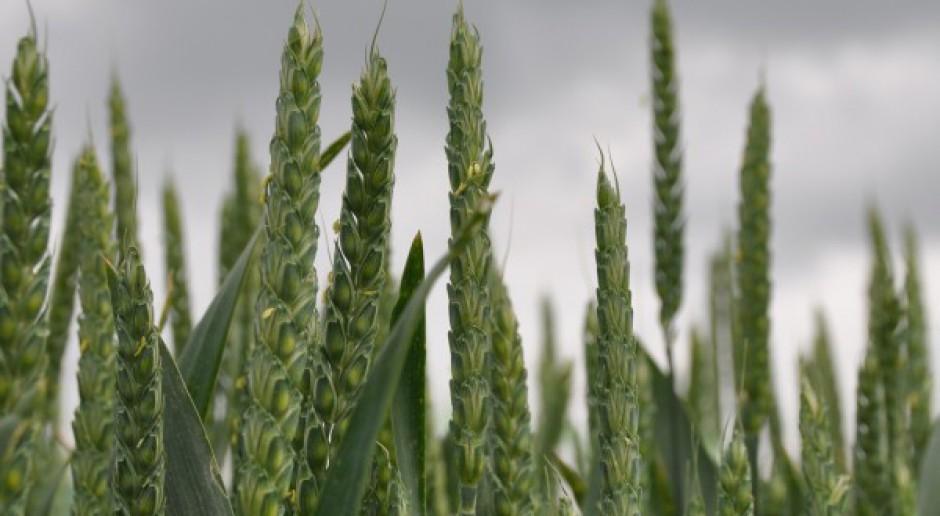 Drobna korekta na pszenicy