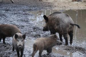 W Małopolsce zgoda na odstrzał dzików