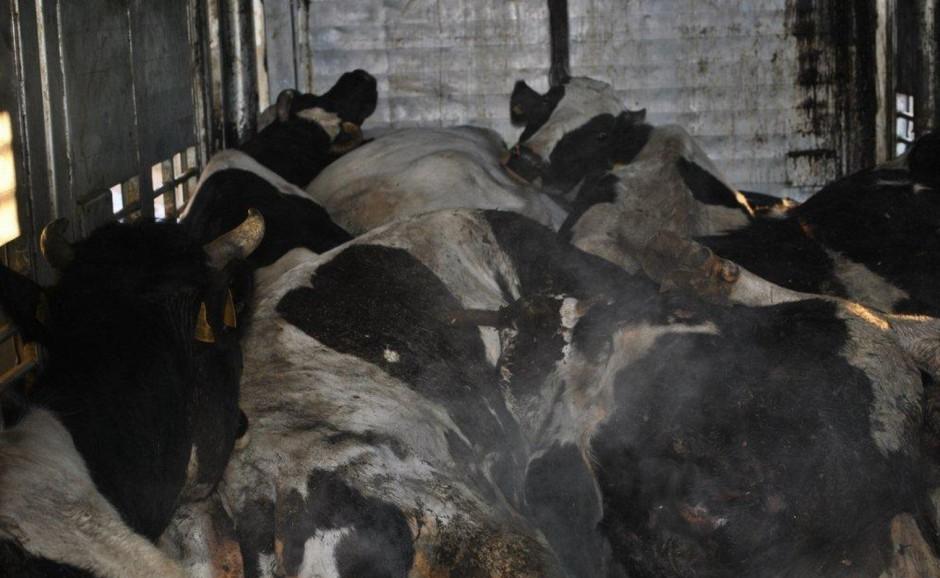 Z 24 sztuk transportowanych zwierząt aż dziewięć było martwych. Pozostałe były w krytycznym stanie. Fot. Policja w Rawie Mazowieckiej