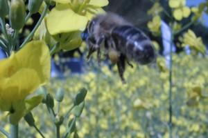 Długa zima groźna dla pszczół