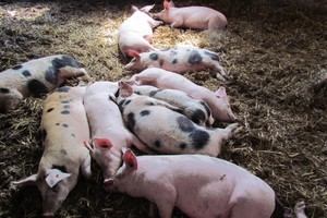 Mojzesowicz: Program odbudowy pogłowia świń jest w powijakach