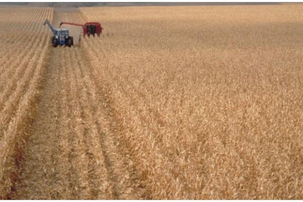 Dlaczego wczesność odmiany jest ważna w uprawie kukurydzy na ziarno?