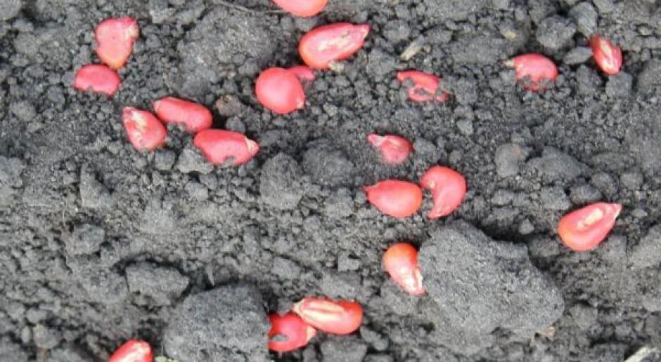 Wczesne odmiany kukurydzy poszukiwane