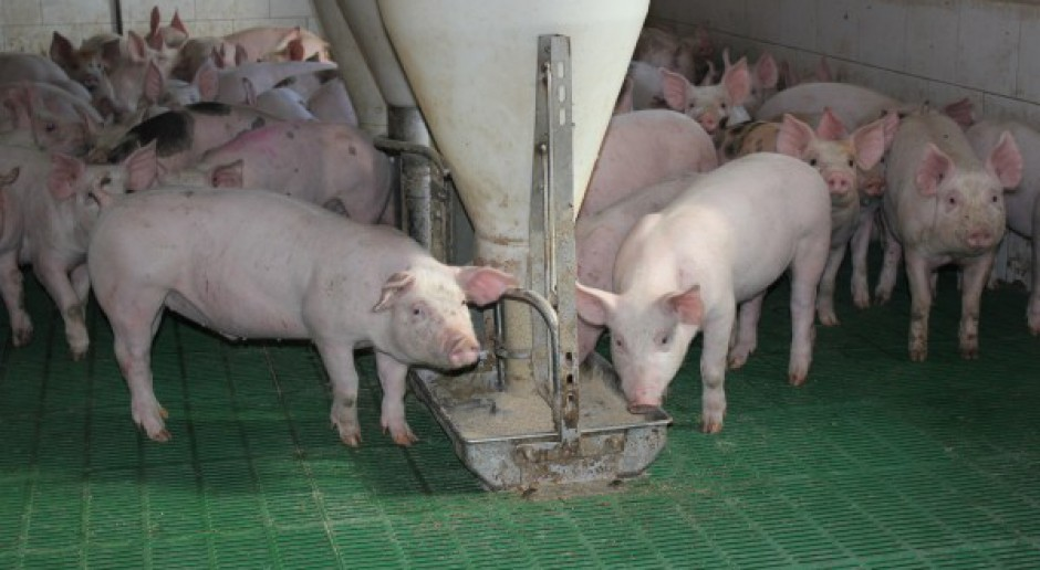 Produkcja świń powinna być oparta o możliwości paszowe gospodarstwa