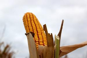 Słabnie rynek zbóż