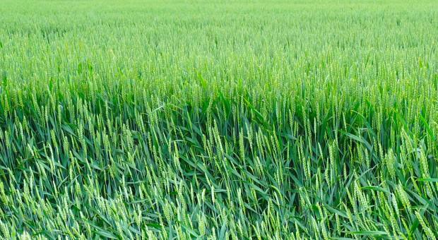 Zapobieganie wyleganiu zbóż
