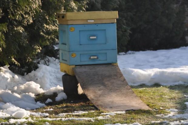Pszczoły krzepną na śniegu