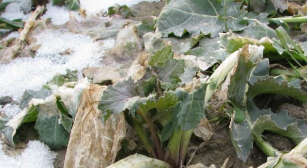 W północno-wschodniej Polsce czuć zapach gnijących roślin