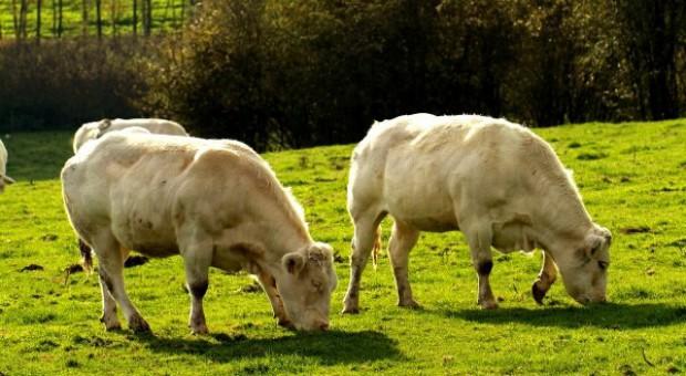 Składki poszły w las – żal producentów bydła mięsnego