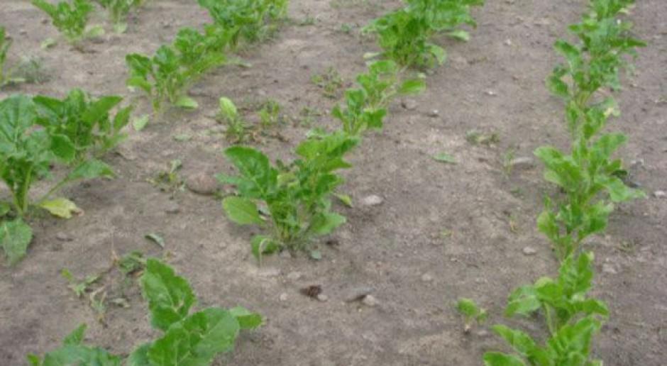 W burakach oprysk na chwasty do 10 dni po siewie