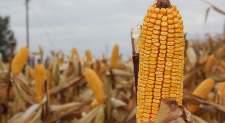 Więcej kukurydzy nie oznacza niższych cen