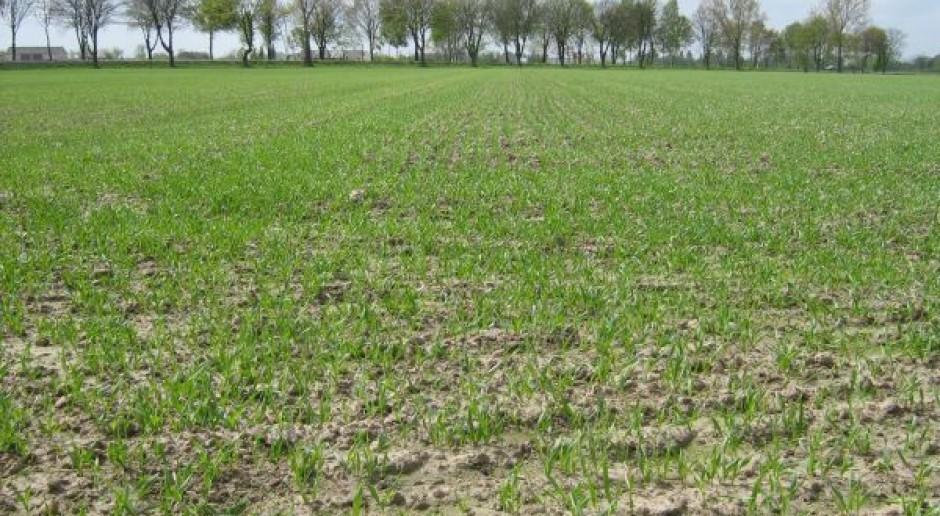 Dla zbóż jarych ważne są opady deszczu