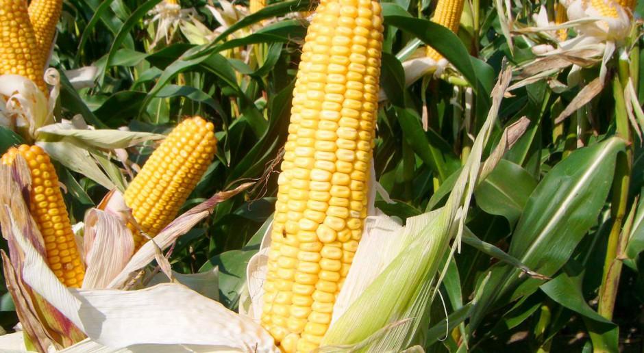 Koegzystencja kukurydzy
